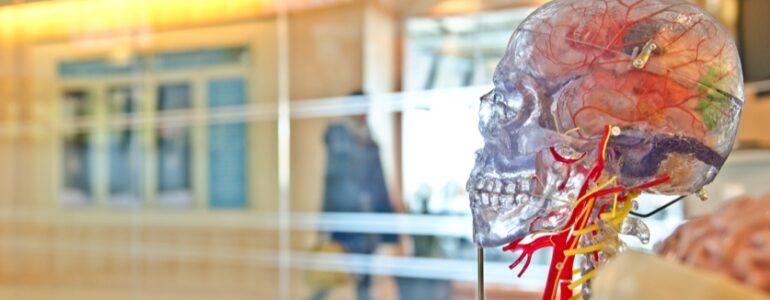 plastic model of brain